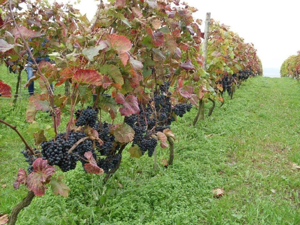 Winnice w Topolnie